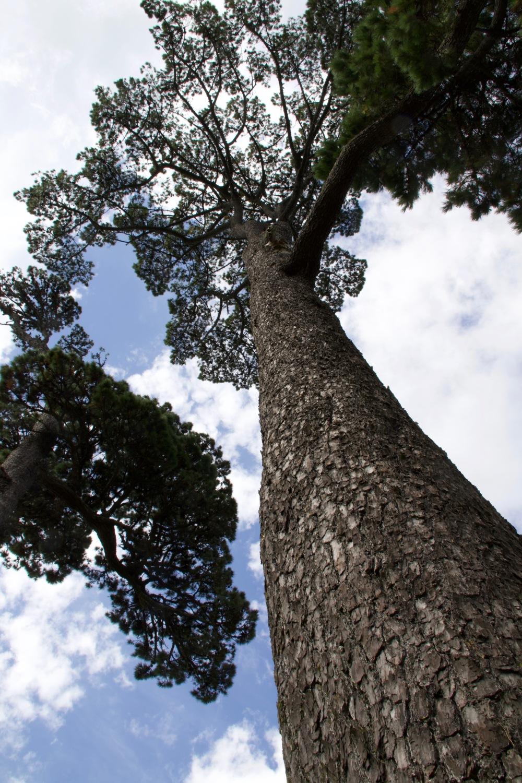 Norfolk Pine Auckland Domain