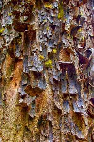 Huon Pine BArk