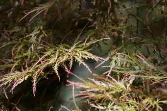 ACER FOREST GLADE