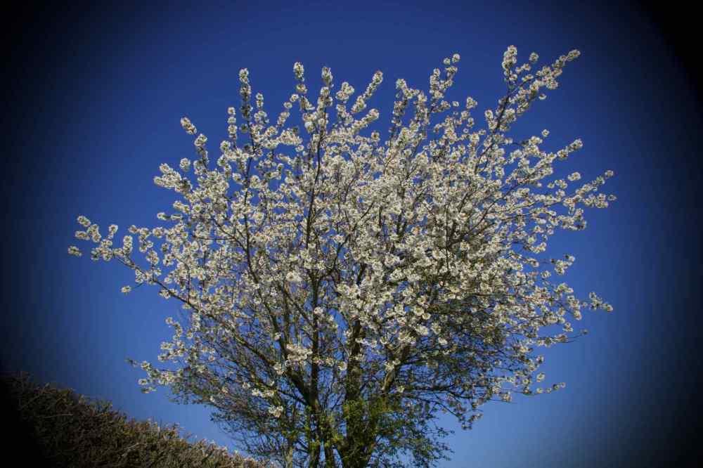 Tree Blossom Lane UnProcessed